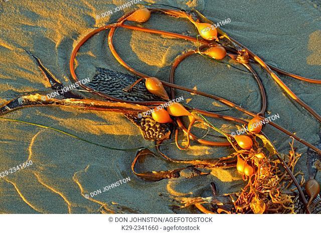 Kelp washed up on Morro Bay beach. Morro Bay, California