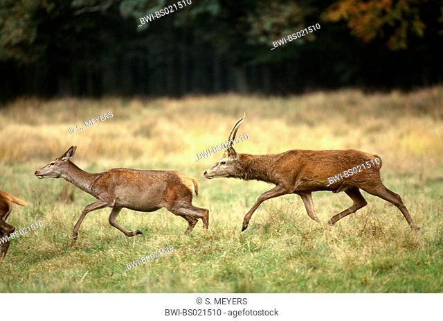 red deer (Cervus elaphus), young stag droving hind, Germany, Saxony