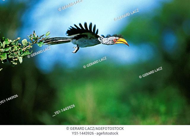YELLOW BILLED HORNBILL tockus flavirostris, ADULT IN FLIGHT, KENYA