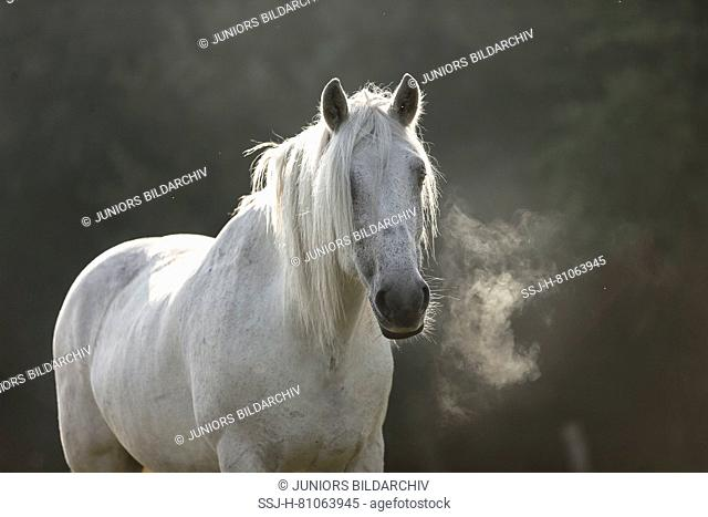 Highland Pony. Portrait of adult gelding on a pasture, showing hot breath. Germany