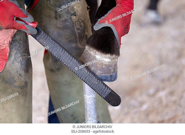 Domestic horse, foot care: Ferrier raspeling a hoof. Germany