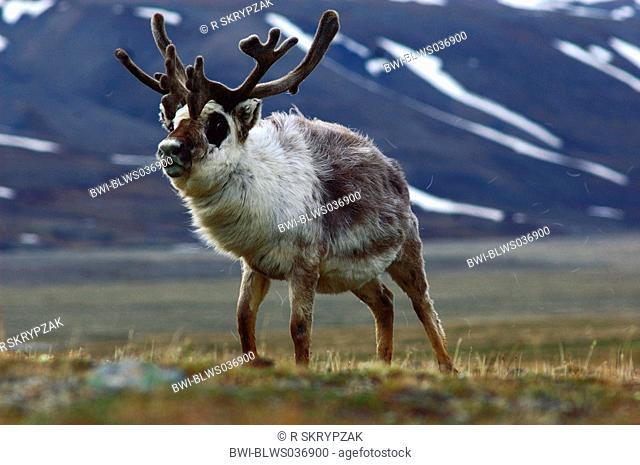 svalbard reindeer Rangifer tarandus platyrhynchus, portrait of a single animal, with mountain in the background, Norway, Spitsbergen