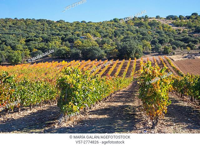Vineyards in Autumn. Ribera del Duero, Valladolid province, Castilla Leon, Spain