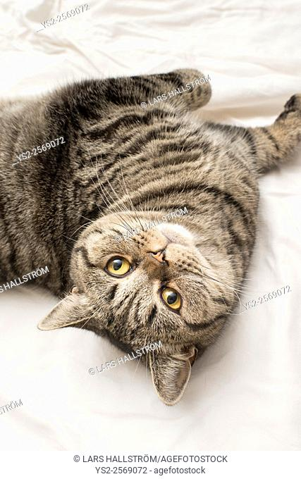British shorthair cat lying down on its back in a bed, looking up