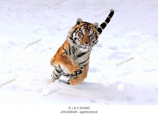 Siberian Tiger,Panthera tigris altaica,Asia,young male jumping in snow