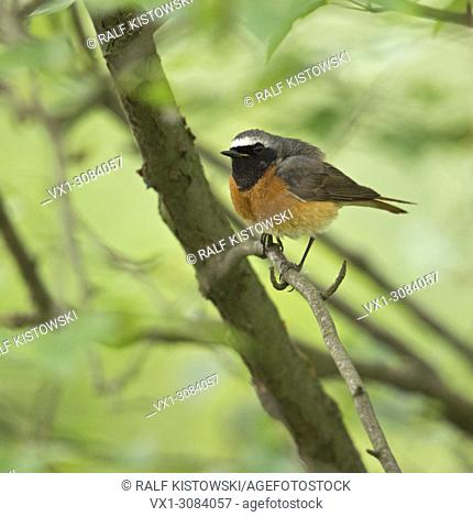 Common Redstart ( Phoenicurus phoenicurus ), colorful male in its breeding dress, perched on a branch in the undergrowth, wildlife, Europe.