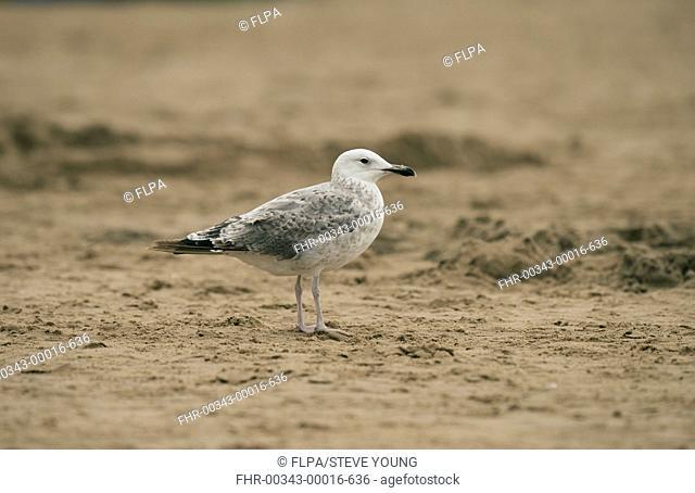 Caspian Gull (Larus cachinnans) immature, first summer plumage, standing on beach, Ainsdale, Merseyside, England, August