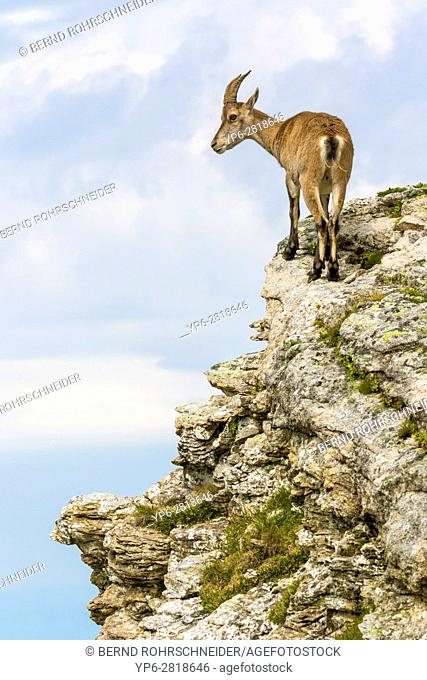 Alpine Ibex (Capra ibex), female standing on rock face, Niederhorn, Bernese Oberland, Switzerland