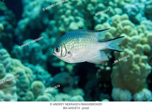 Maldives damselfish (Amblyglyphidodon indicus) floats over coral reef, Red Sea, Egypt