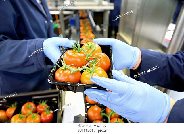 Workers packing ripe red vine tomatoes on production line in food processing plant