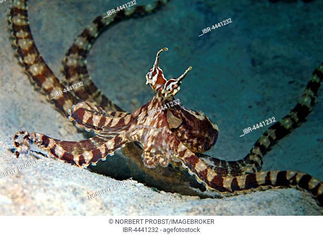 Wonderpus octopus (Wonderpus photogenicus), Bunaken National Park, Sulawesi, Celebes Sea, Indian Ocean, Indonesia