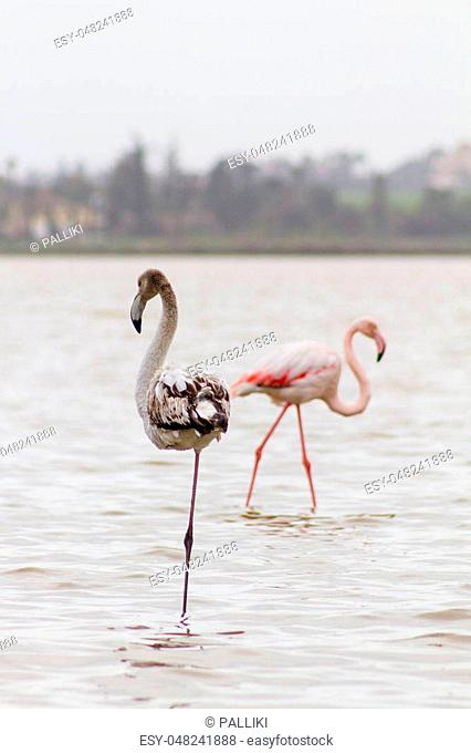 Dark and Pink Flamingos at Larnaca Salt-lake in the island of Cyprus