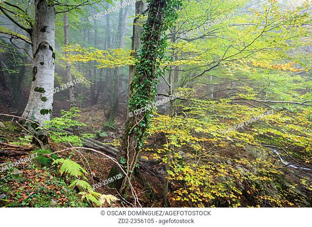 European Beech forest (Fagus sylvatica). Montseny Natural Park. Barcelona. Catalonia. Spain