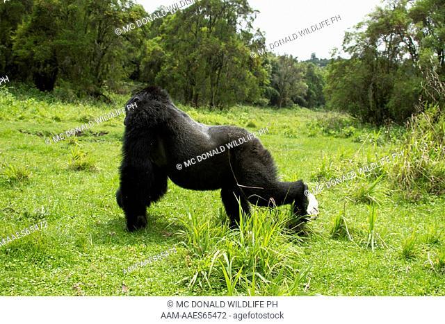 Mountain Gorillas (Gorilla beringei beringei) in the Volcanoes NP, Rwanda, Sabyinyo silverback charging