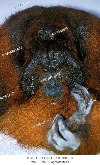 ORANG UTAN pongo pygmaeus, MALE