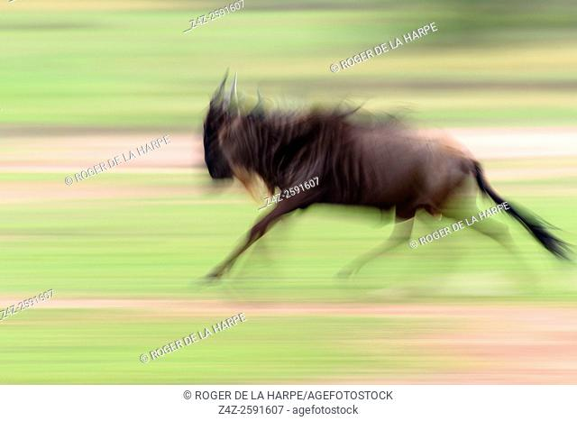 Blue wildebeest or common wildebeest, white-bearded wildebeest or brindled gnu (Connochaetes taurinus) running. Serengeti National Park. Tanzania
