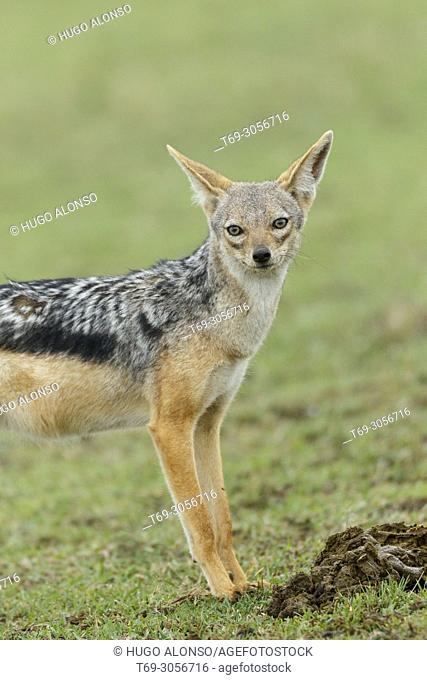 black-backed jackal (Canis mesomelas). Kenia. Africa