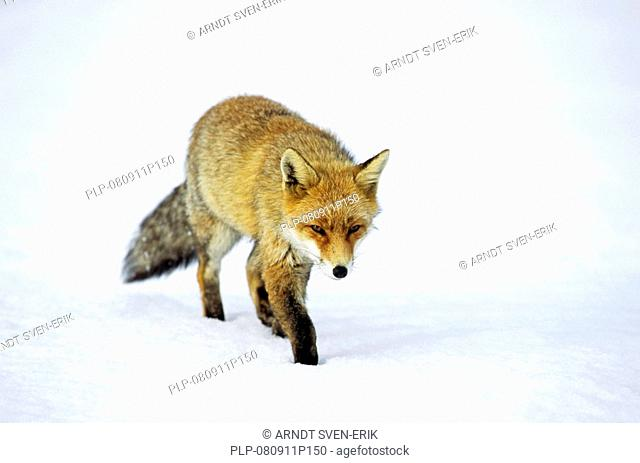 Red fox Vulpes vulpes walks in winter in the snow, Italy