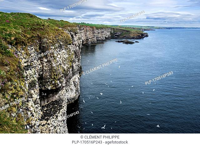 Sea cliffs, home of seabird colonies in breeding season in spring at Fowlsheugh, coastal nature reserve in Kincardineshire, Scotland, UK
