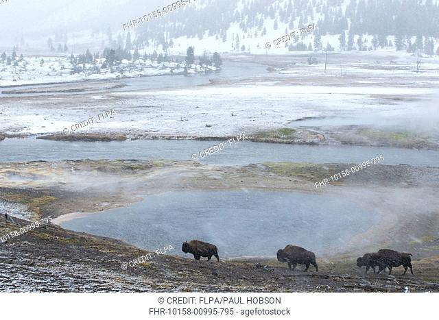 North American Bison (Bison bison) adults and immature, walking near hotspings during snowfall, Yellowstone N.P., Wyoming, U.S.A., February