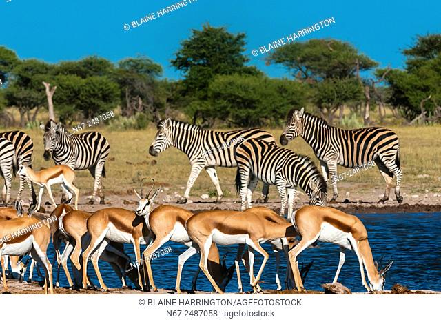 Springbok and zebras at a watering hole, Nxai Pan National Park, Botswana