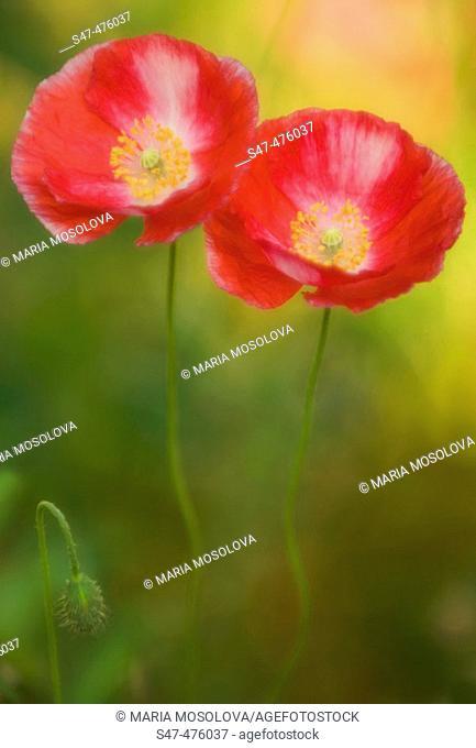 Two Poppy Flowers and a bud. Corn Poppy, Shirley Poppy, Flanders Poppy (Papaver rhoeas). Maryland, USA