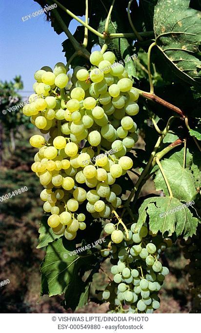 Fruits , grapes on creeper , India