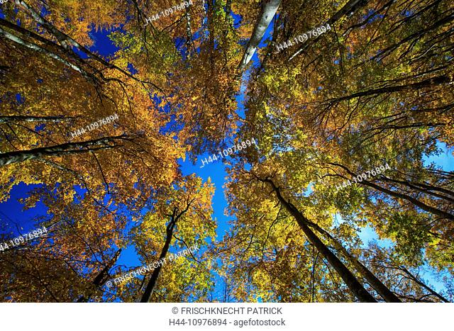 Tree, trunk, leaf, leaves, beech, beech forest, trees, autumn, sky, foliage, broad-leaved trees, deciduous forest, perspective, copper beech, Switzerland