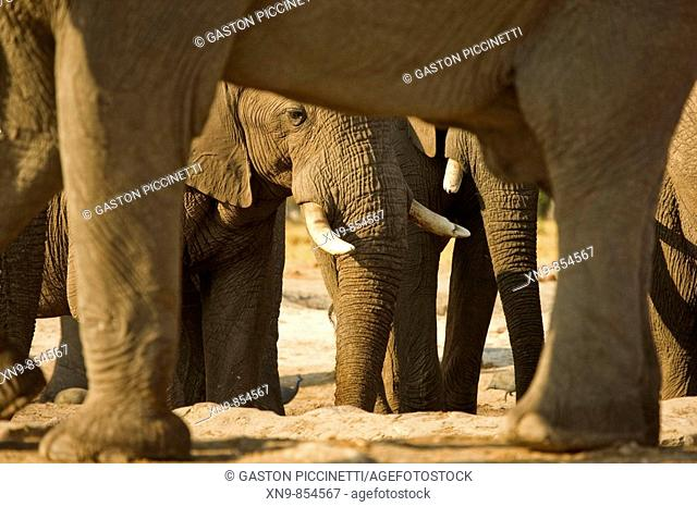 African Elephant (Loxodonta africana) in the waterhole, Savuti, Chobe National Park, Botswana