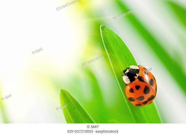 ladybug on green grass close up