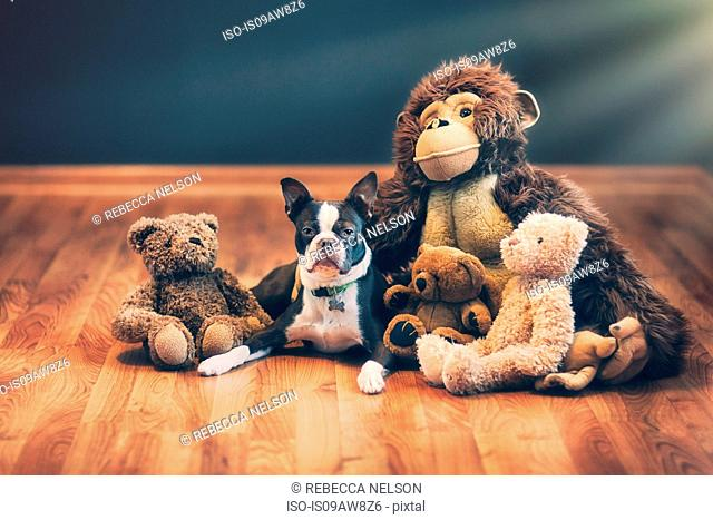 Boston terrier puppy among stuffed toys on wooden floor