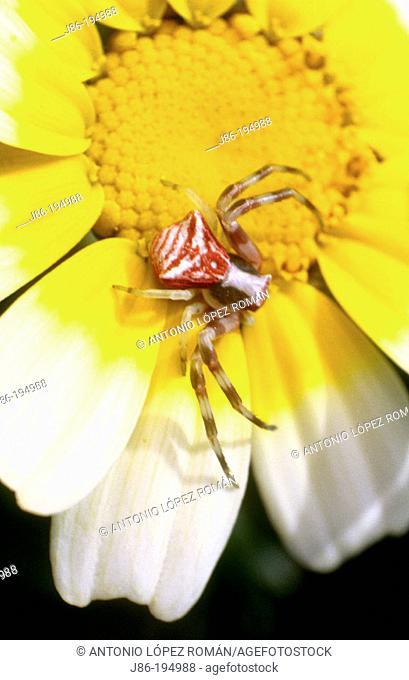 Spider (Thomisus onustus)