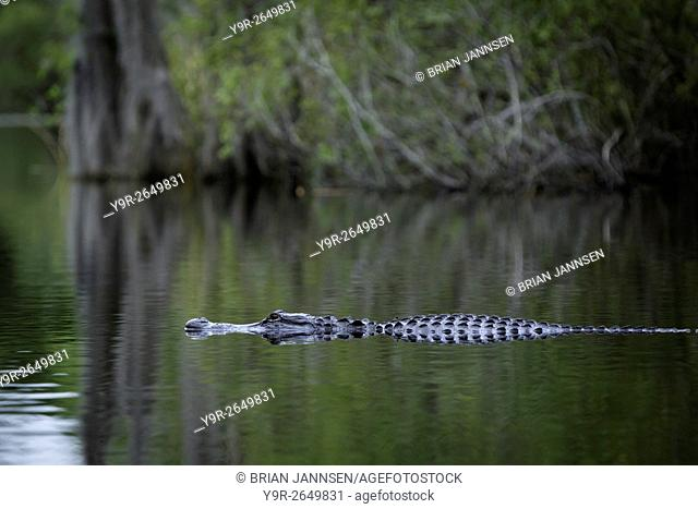 Submerged Alligator (Alligator Mississippiensis) at home in Everglades National Park, Florida, USA