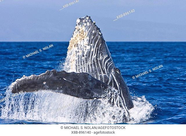 Sub-adult humpback whale (Megaptera novaeangliae) repeatedly breaching and head-lunging in the AuAu Channel between the islands of Maui and Lanai, Hawaii, USA