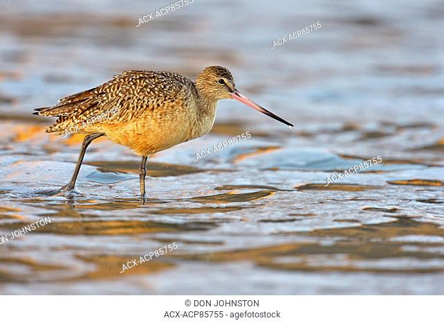 Marbled Godwit (Limosa fedoa) foraging at low tide on sandy beach, Morro Bay, California, USA
