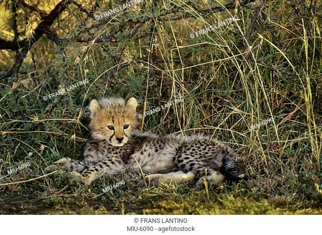 Cheetah cub resting, Acinonyx jubatus, Kenya