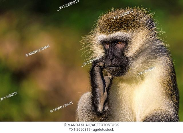 Vervet monkey scratching ear in a Great Rift Valley forest north of Lake Baringo