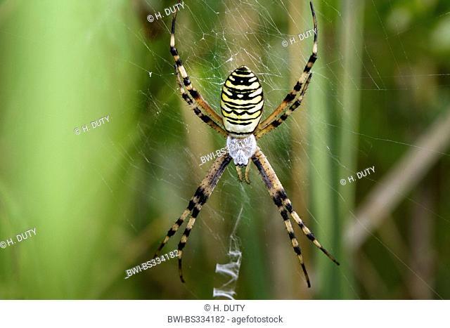 black-and-yellow argiope, black-and-yellow garden spider (Argiope bruennichi), female in its web lurking, Germany, Mecklenburg-Western Pomerania