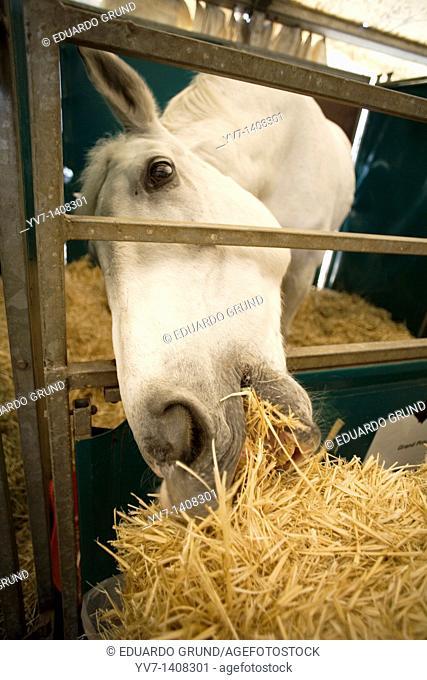 Horse eating  Malaga, Costa del Sol, Andalusia, Spain