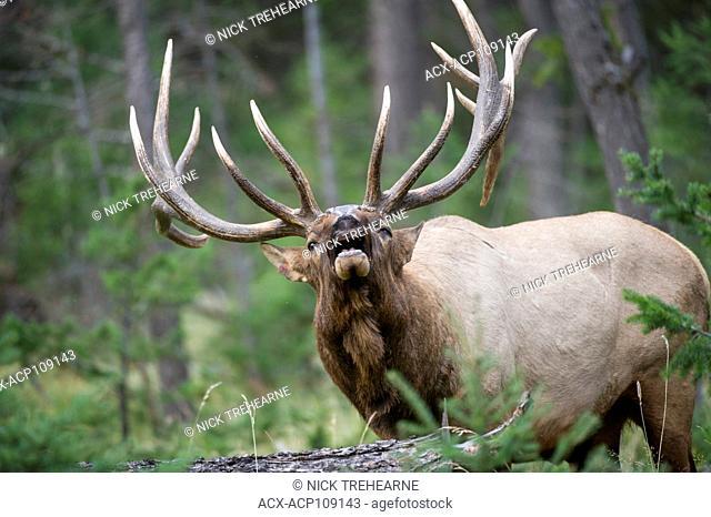 Male Elk, Cervus canadensis nelsoni, Rocky Mountains, Alberta, Canada