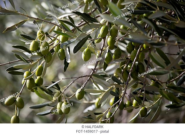 Green olives hanging on tree