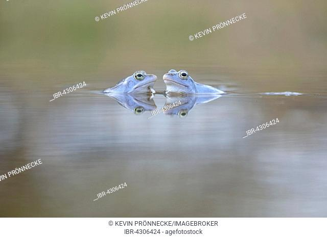 Moor frogs (Rana arvalis), blue coloured males during mating season, in spawning waters, Elbe, Saxony-Anhalt, Germany