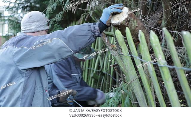 Professional gardeners pruning trees in winter
