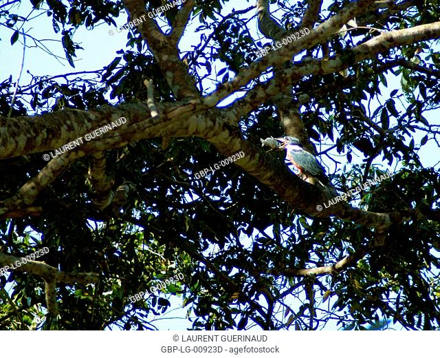 Martin-pescador-matraca, Ringed-Kingfisher, Pantanal, Mato Grosso do Sul, Brazil