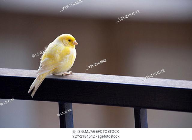 Canary in a balcony