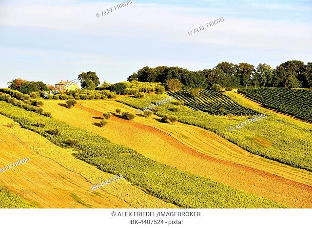Sunflower fields and vineyards, Sant'Amico, Morro D'Alba, Marche, Italy