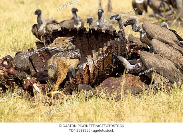 Cape Vultures (Necrosyrtes monachus), and Black-backed Jackal (Canis mesomelas)- At the carcass of a Cape Buffalo (Syncerus caffer caffer)