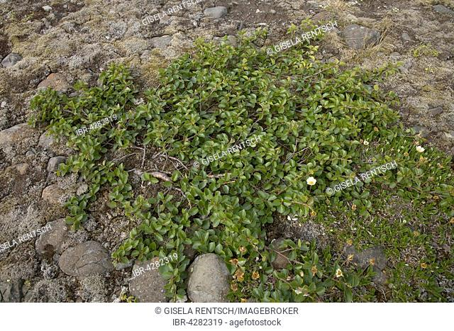 Dwarf birch (Betula nana), Iceland