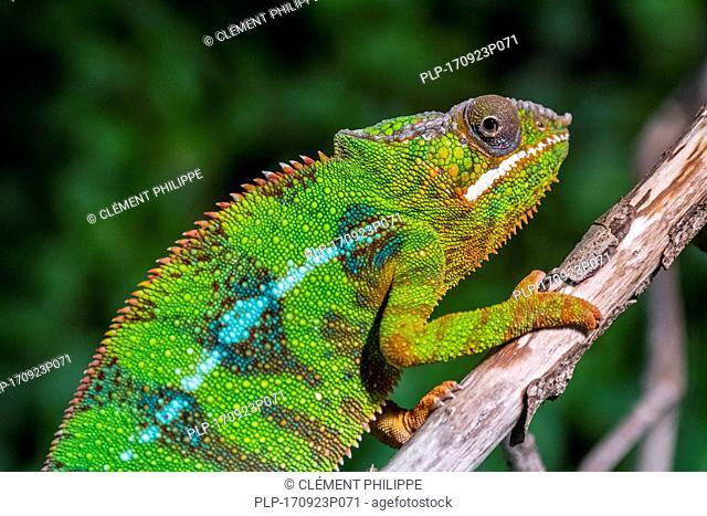 Panther chameleon (Furcifer pardalis) in tree, native to Madagascar