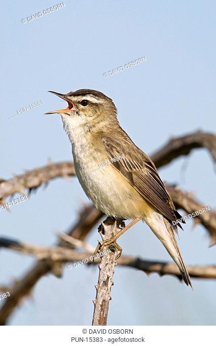 Sedge warbler Acrocephalus schoenobaenus singing, Norfolk, England